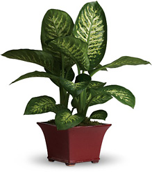 Delightful Dieffenbachia from In Full Bloom in Farmingdale, NY